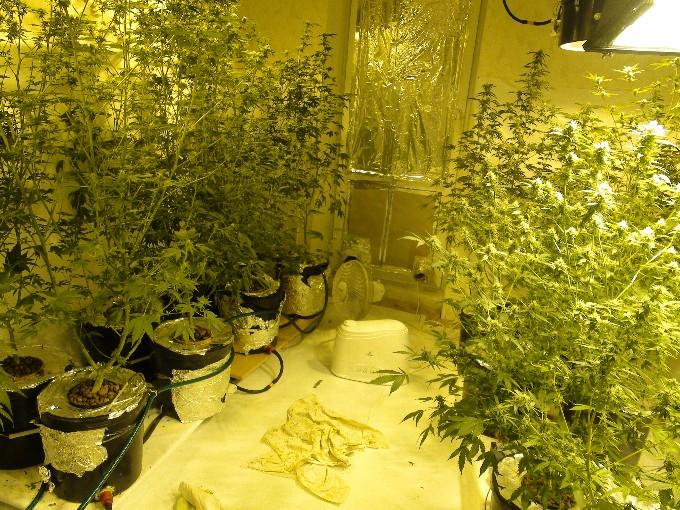 Квартира конопля какой урожай дает куст конопли